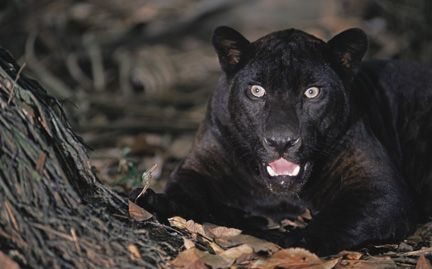 This Is His I M Adopted Face Thank You Wwf For This Cuteness Black Jaguar Animals Pet Adoption