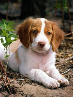 40 Medium Sized Dog Breeds That Are The Perfect First Pet For Any Family Brittany Spaniel Dogs Brittany Dog Brittany Spaniel Puppies
