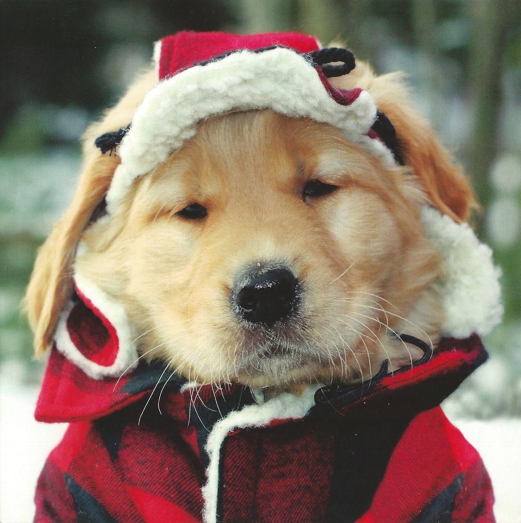 Golden Retriever In Tartan All I Want For Christmas Retriever