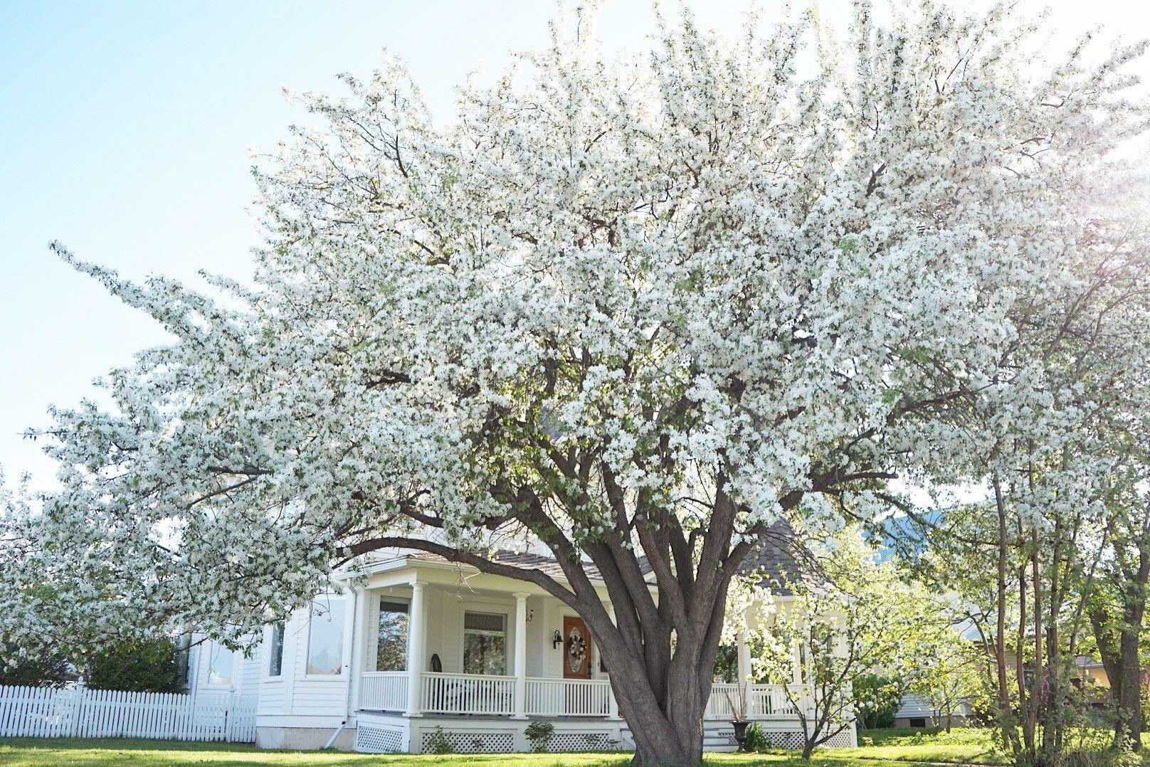 Apple Tree In Bloom 5 Favorite Springtime Blooms Apple Tree Gardening Apple Tree Blossoms Garden Trees