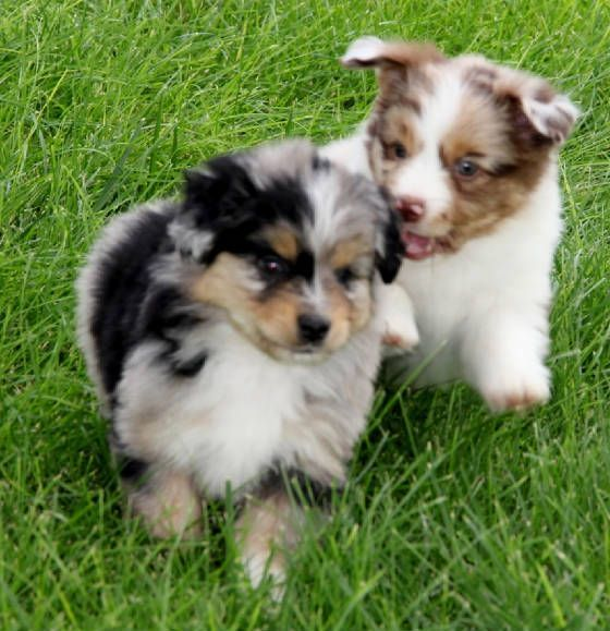 Red Merle Toy Australian Shepherd puppies for sale in UT