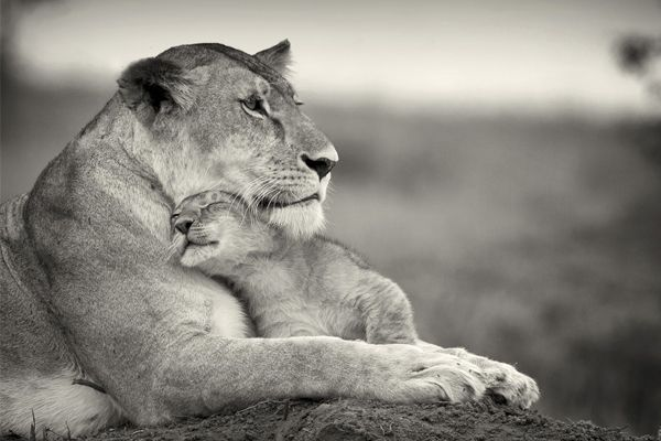 Motherly love!  50 Stunning Pictures Of  The Big Cats