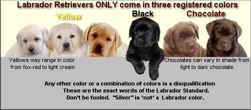 So true, because silvers are not purebred labs | Labrador, Black labrador retriever, Labrador retriever