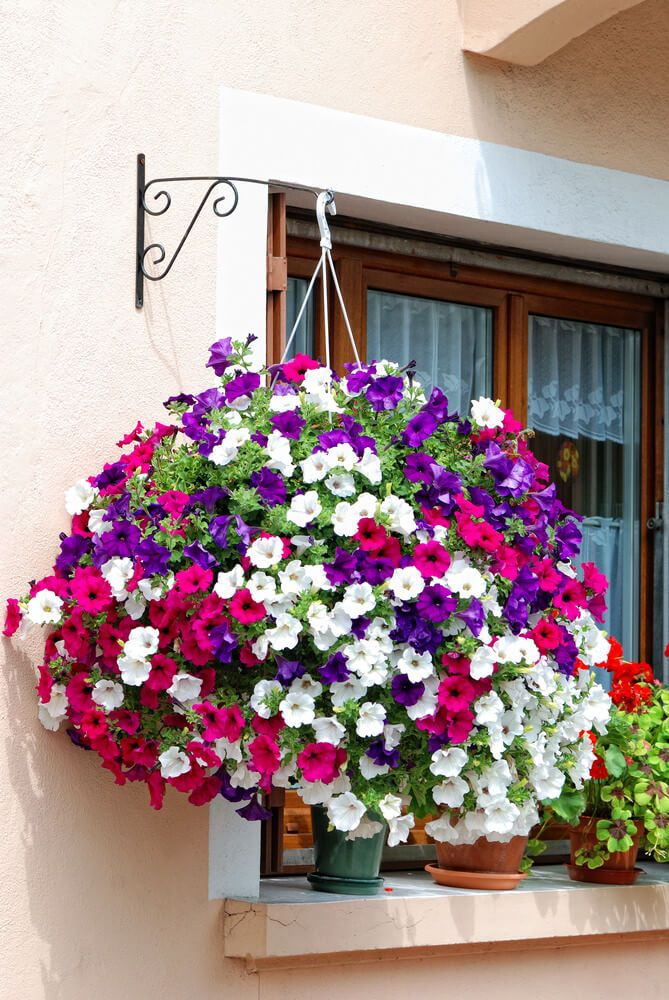 Mive Hanging Flower Basket Exploding With Purple Pink And White Flowers