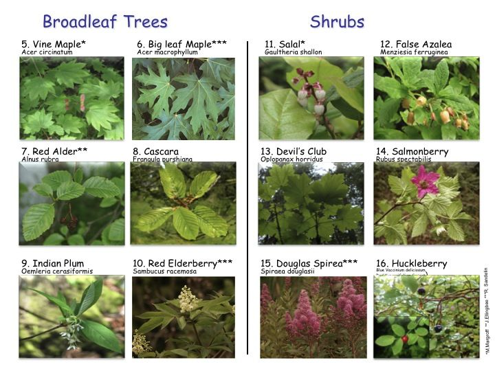 The broadleaf and shrub identification card how to draw the broadleaf and shrub identification card sciox Images