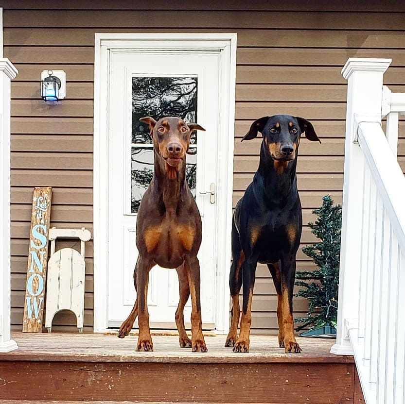 Warlock Doberman Puppies For Sale In Florida References