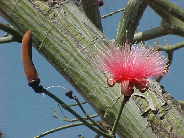 Pseudobombax Ellipticum Shaving Brush Tree Tropical Tree Trees And Shrubs Petals