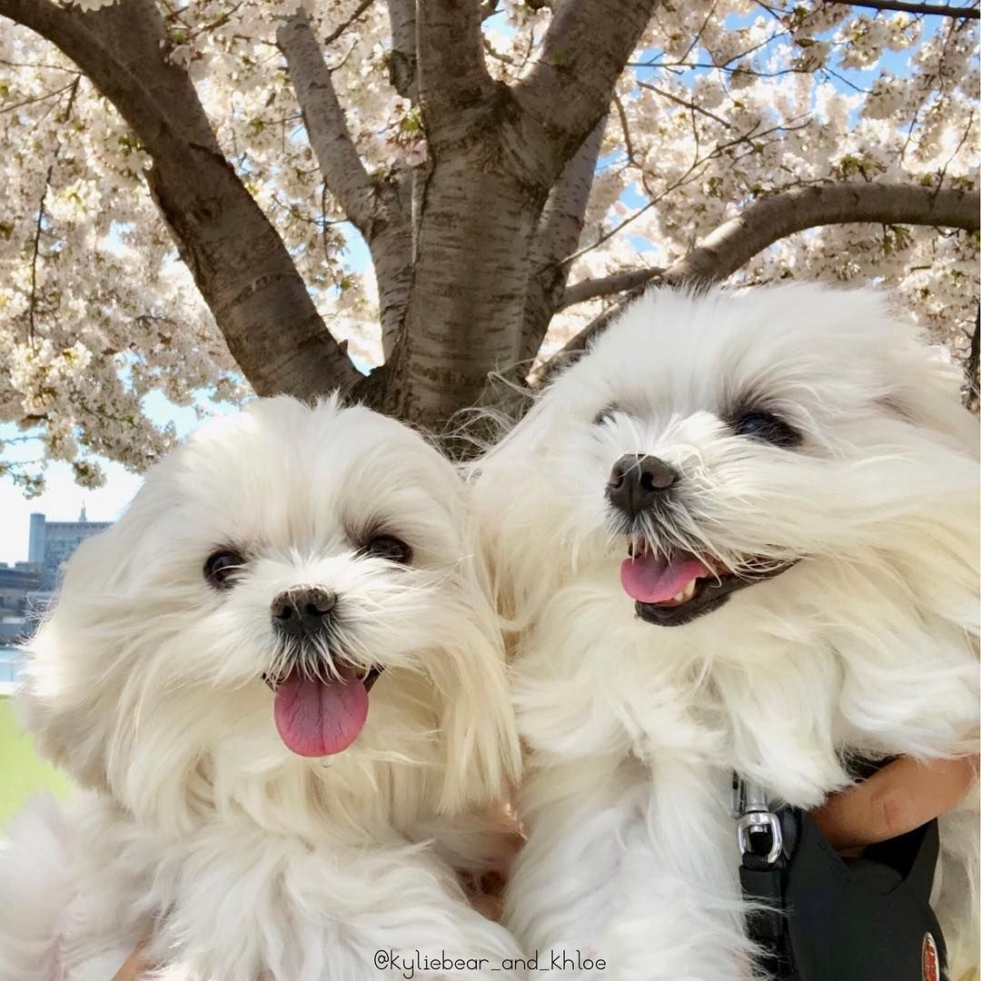 Smile If You Love Cherry Blossoms Springtimevibes Sisterlove Kylieandkhloe Pink Smile If You Love Cherry Cutest Dog Ever Dog Cuddles Puppy Safe