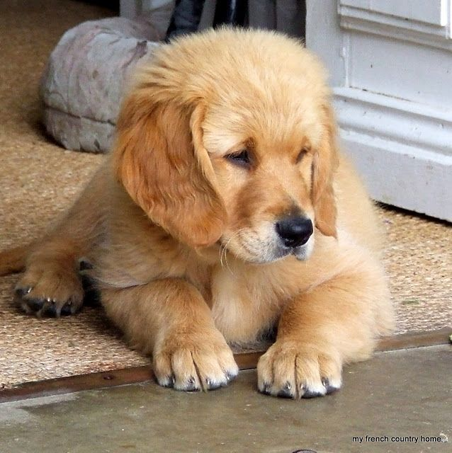 Dogs With Paws That Are Too Big For Them Golden
