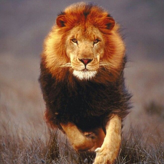 Pin By Monica Mitchell On Animals Nature Pinterest Lions Wild