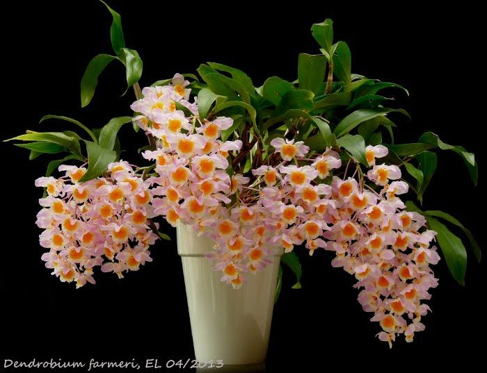 how to take care of dendrobium orchids plants
