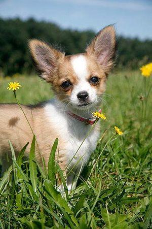 Chihuahuas sind wahrscheinlich eine der ältesten