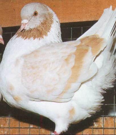 أنواع الحمام Pigeon Fancy Birds
