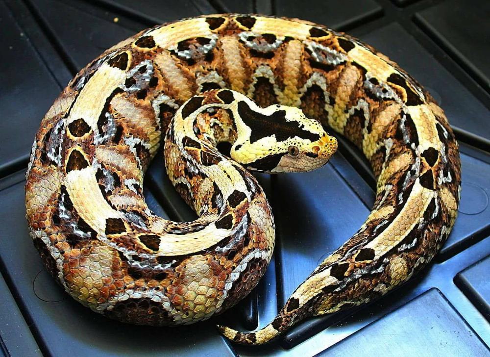 Gabino Gaboon X Rhino Viper Hybrid Credit Gregg Madden Gaboon Viper Reptile Snakes Viper