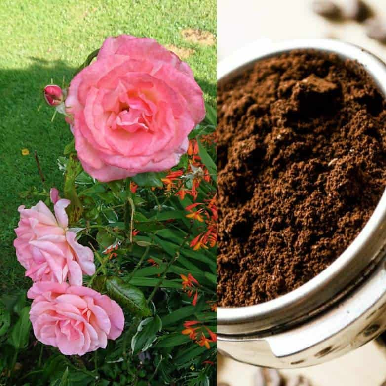 Do Roses Like Coffee Grounds Gardener Report Organic Mulch Soil Improvement Coffee Grounds