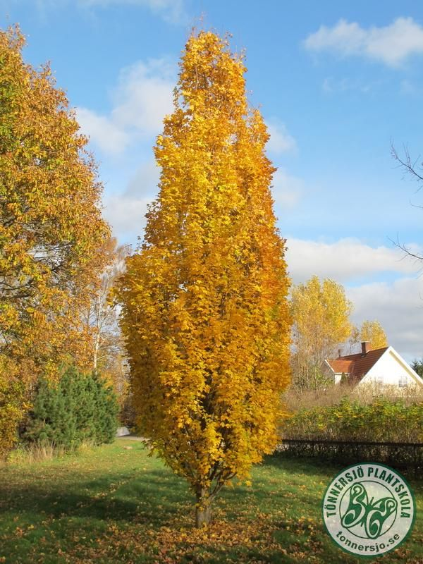 Acer Campestre Pelarnaverlönn Plants With Beautifull Autumn Colours