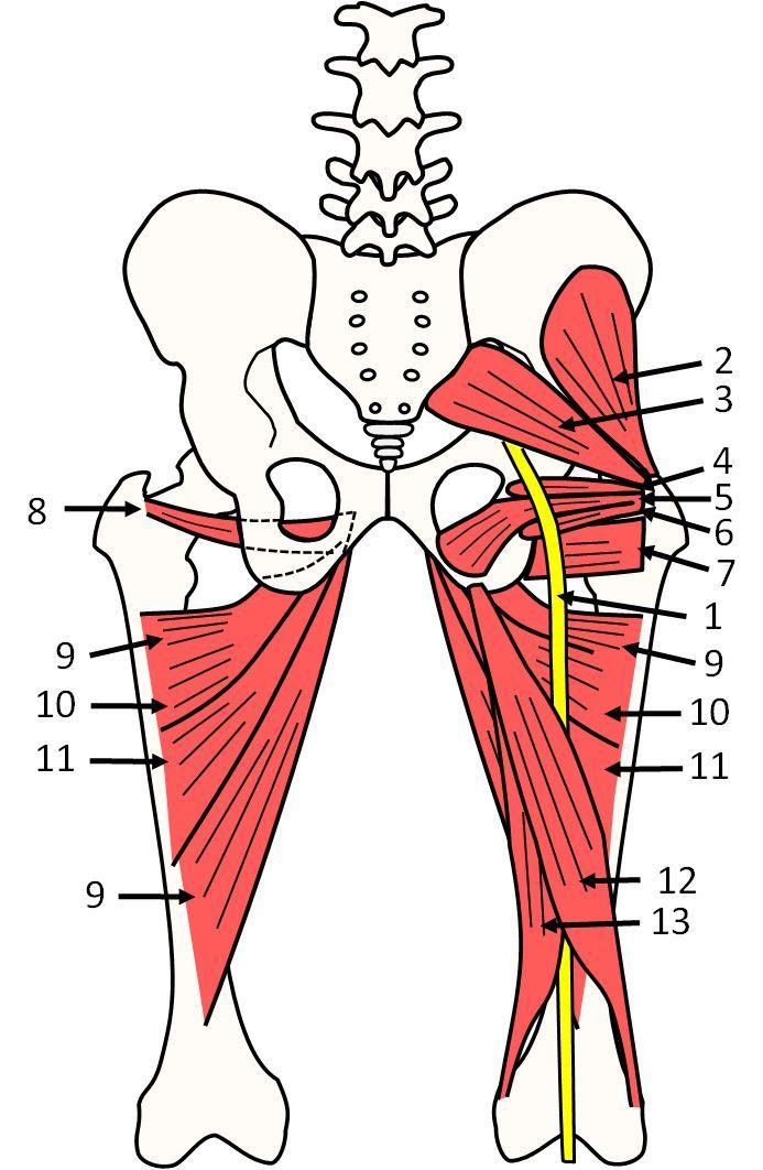 anatomy pelvis sciatic nerve piriformis muscle | Kidney Diagram ...