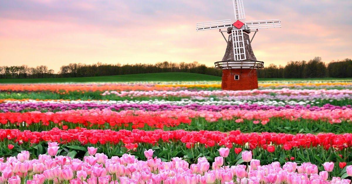 Gambar Pemandangan Bunga Pada Dasarnya Sketsa Digunakan Sebagai Kerangka Di Dalam Karya Seni Lukis Gambar Sketsa Kumpulan Gam Di 2020 Taman Bunga Bunga Bunga Tulip