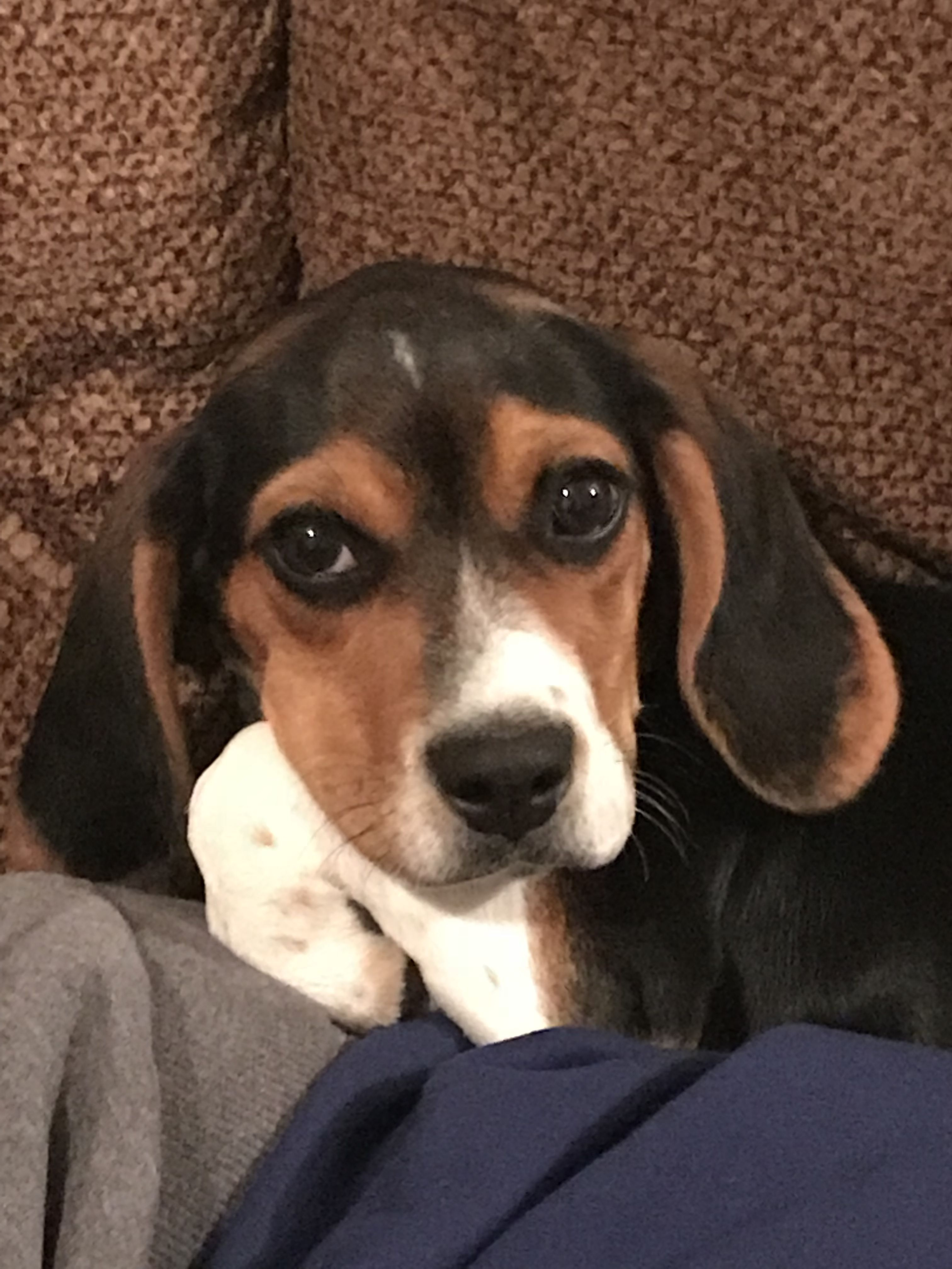 E N Z O 4 1 2 Months Old Beagle Eyes And Their Eyeliner
