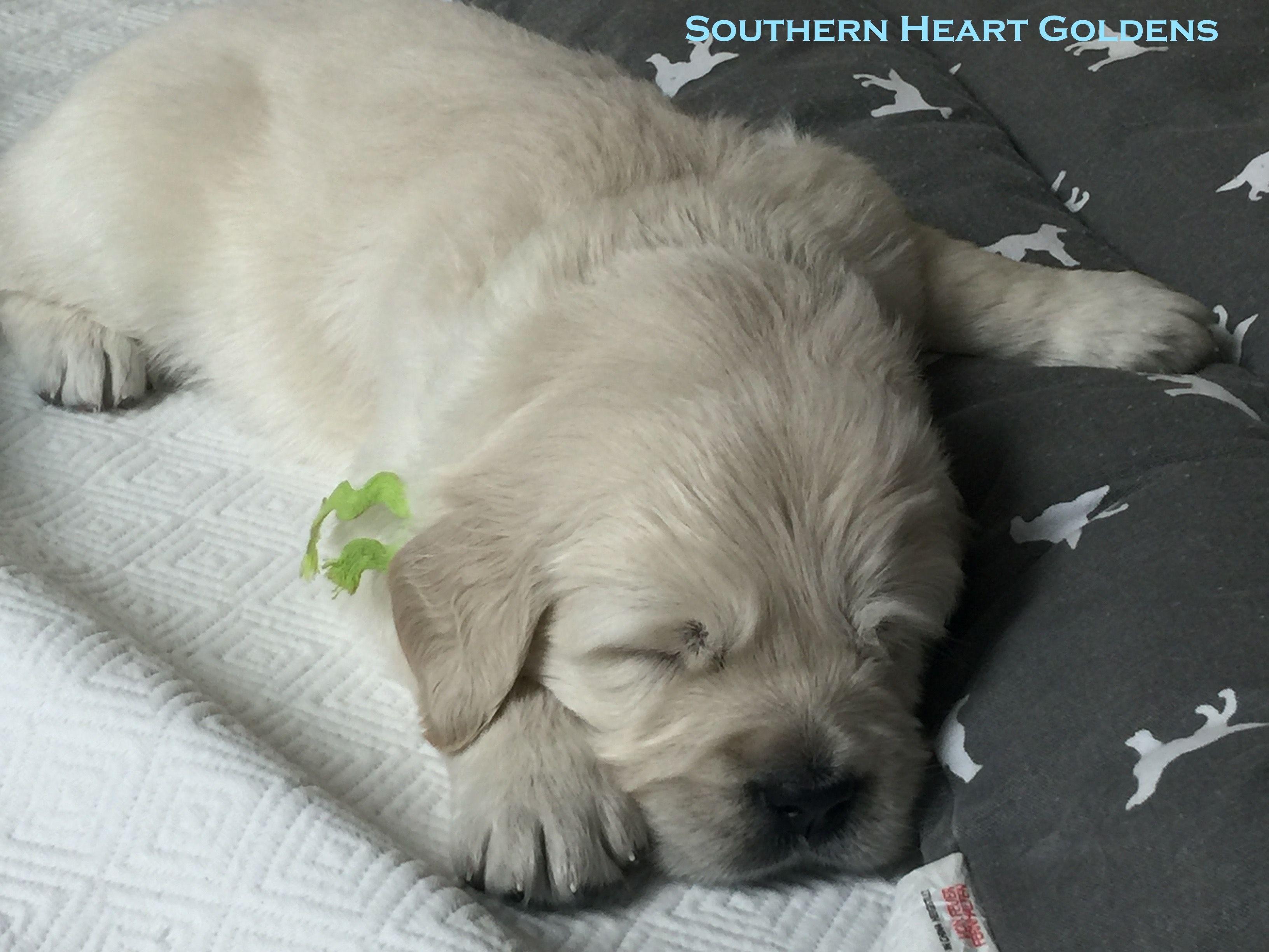 English Cream Golden Retriever Puppy Sleeping Southern Heart