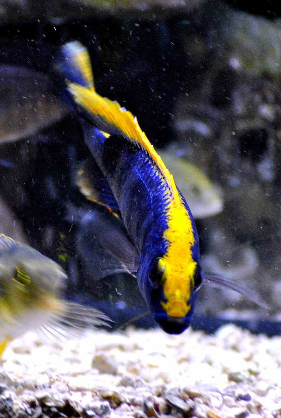 African Cichlid Freshwater Water Life Afric