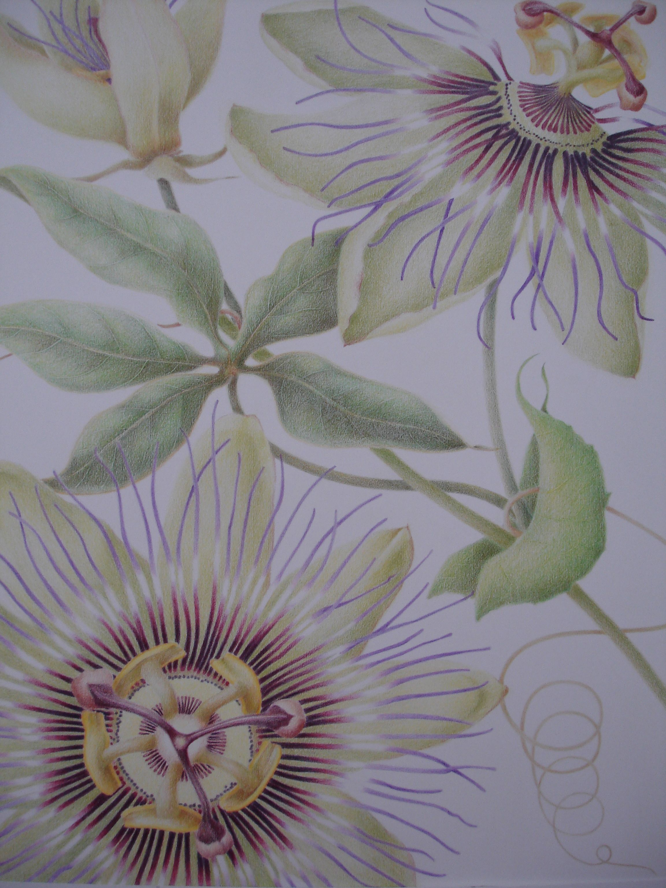 Passion Flower Colored Pencil Drawing By Jill M Hodgson Art Inspiration Passion Flower Colored Pencil Drawing