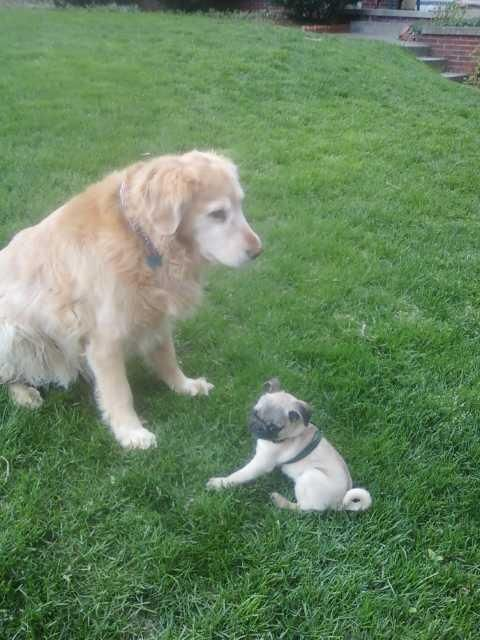 Pug Puppy With Golden Retriever With Images Pug Puppy Pugs
