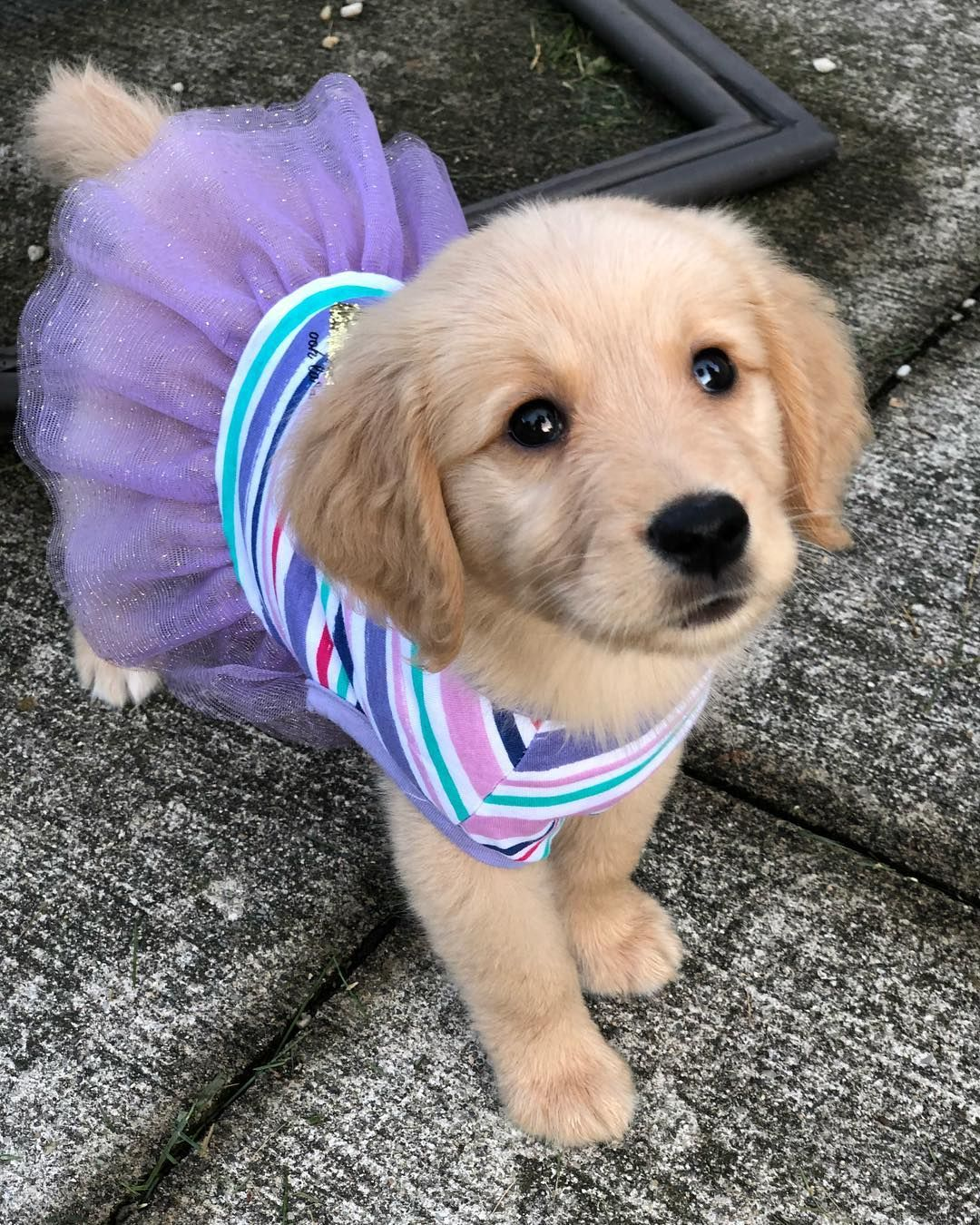 Pin On Cute Puppy Cute Adorable Puppies