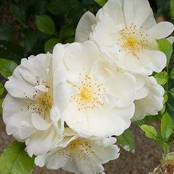 Camellia Plants For Sale Fast Growing Trees Fast Growing Trees April Snow Camellia