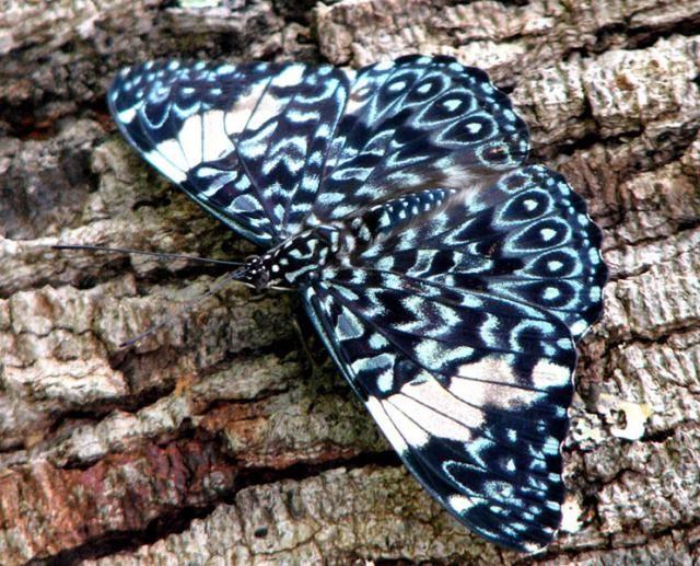 Hamadryas amphinome Se encuentra en Sudamérica.