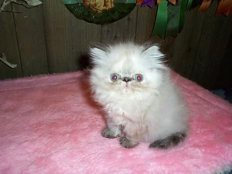 Old Castle Persian And Himalayan Kittens And Cats Monson Ma Himalayan Kitten Persian Kittens Kittens