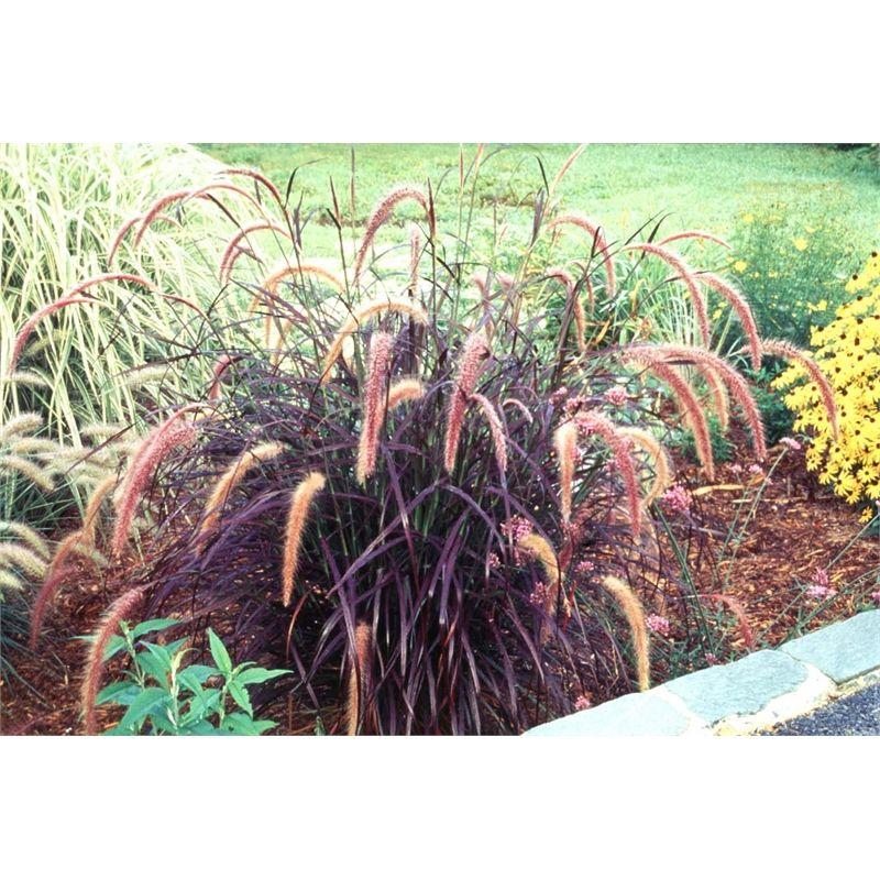 140mm Pennisetum Purple Fountain Grass Bunnings Warehouse Front