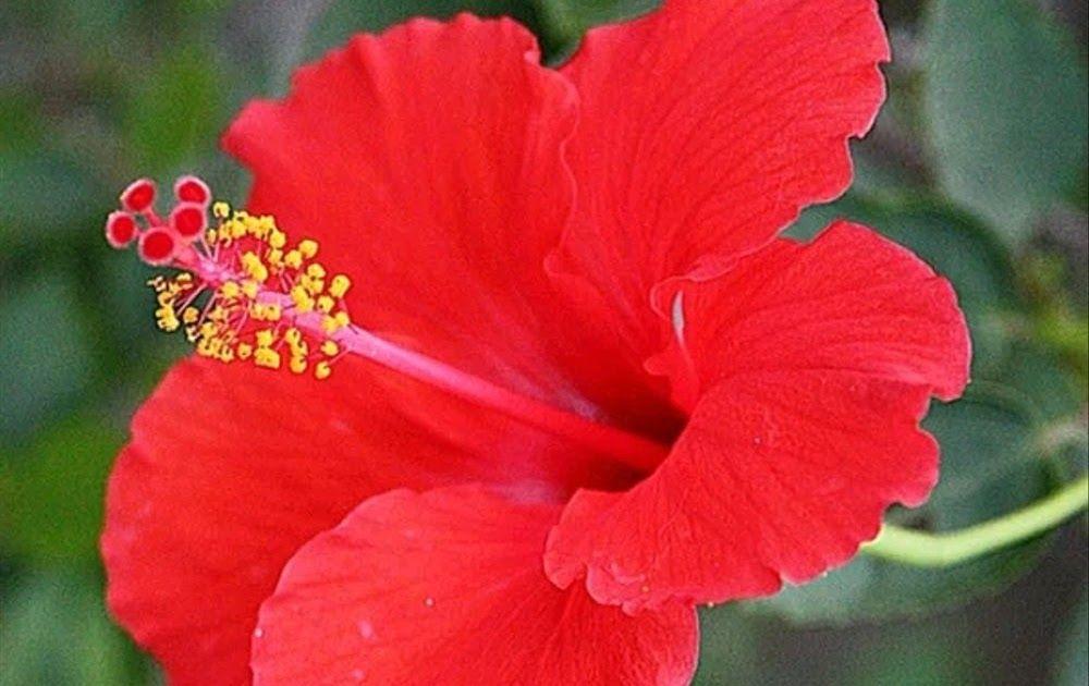 Gambar Bunga Sepatu Bunga Sepatu Kembang Sepatu Tanaman Hias Bibit Kembang Sepatu Tak Hanya Jadi Penghias Bunga Sepatu Te Gambar Bunga Kembang Sepatu Bunga