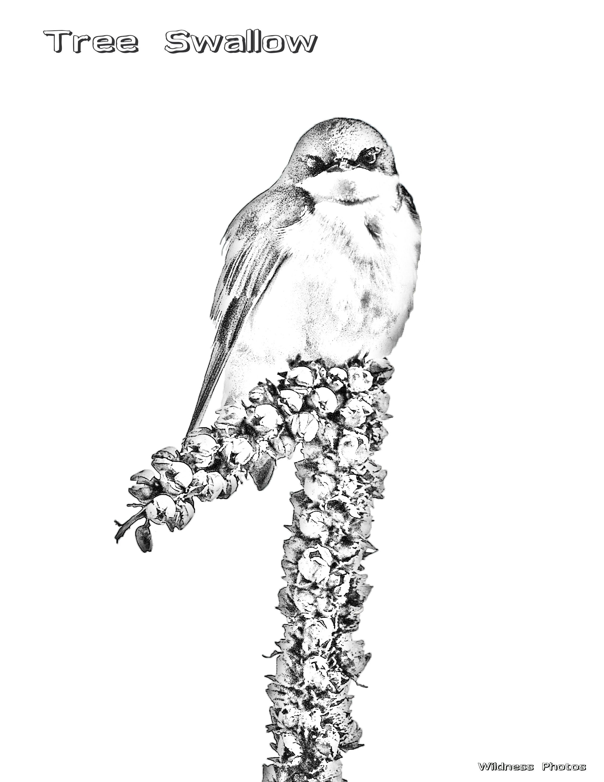 Male Tree Swallow 2