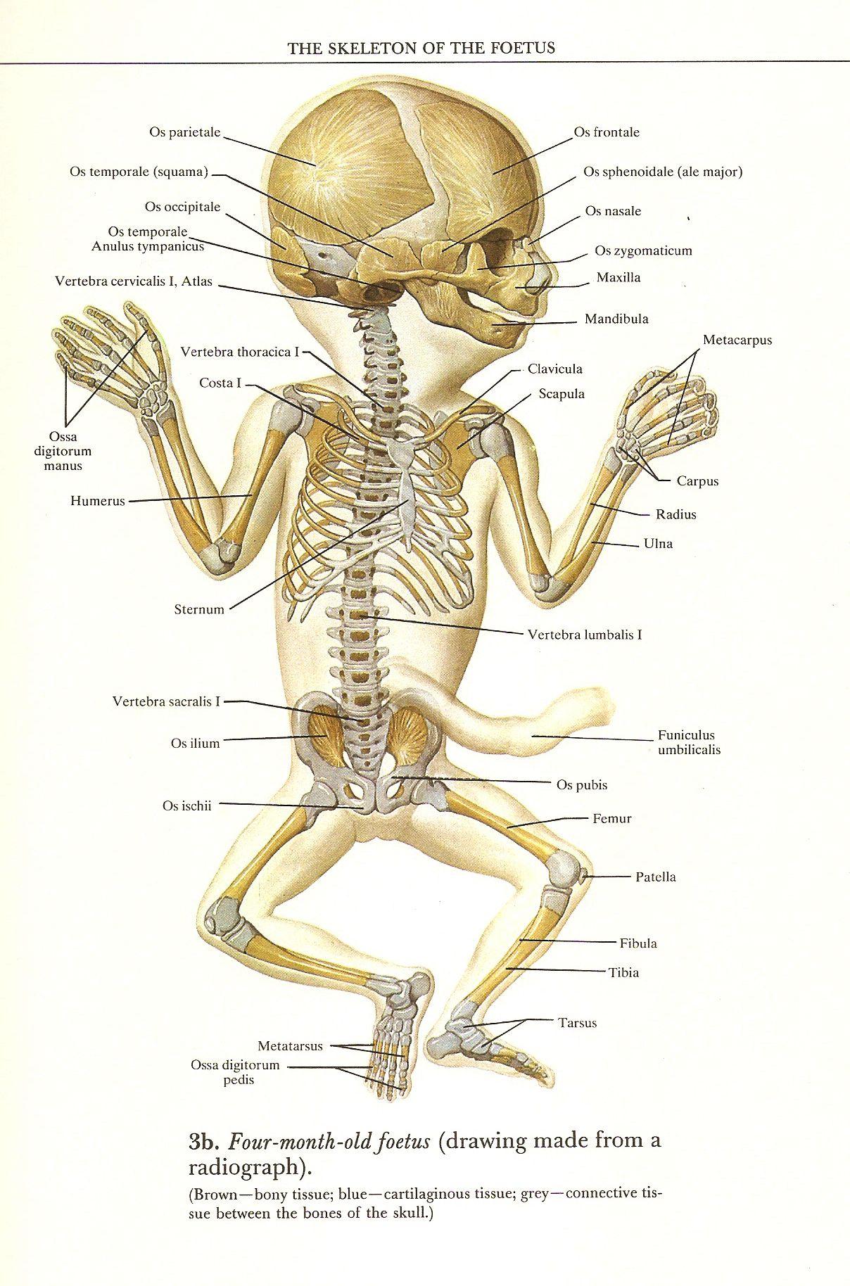Cow Skeleton Bones Diagram 2006 Kia Sorento Wiring Four Month Old Fetus Quotatlas Of Human Anatomy Quot R D