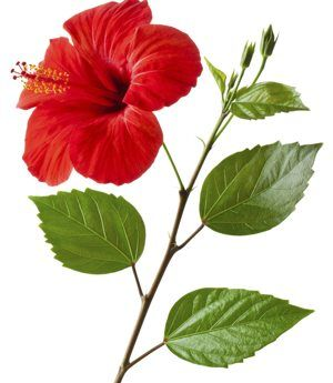 Compound Leaf Identification In 2019 Flowers Hibiscus Leaf