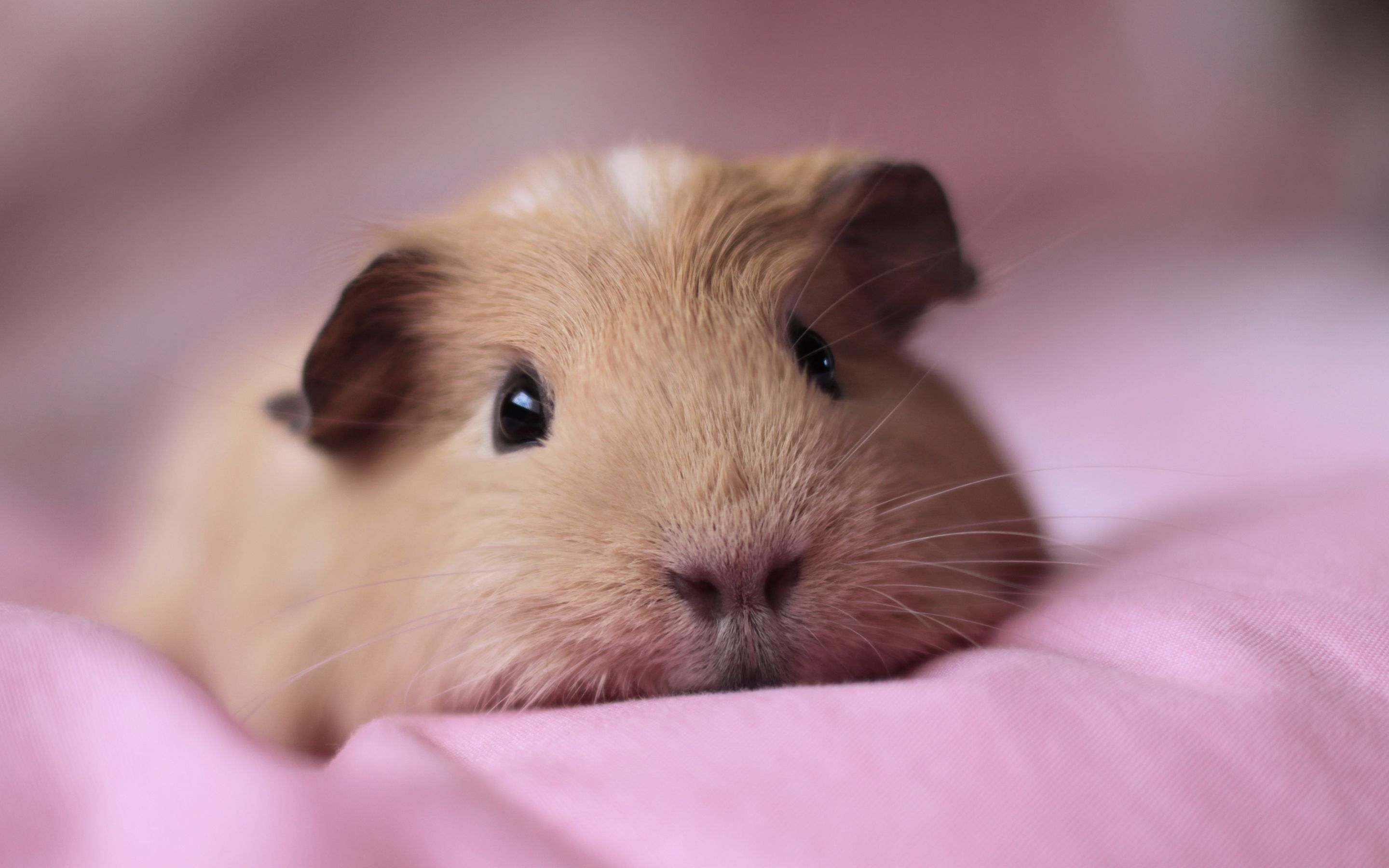Guinea Pig Wallpapers - Android Apps on Google Play