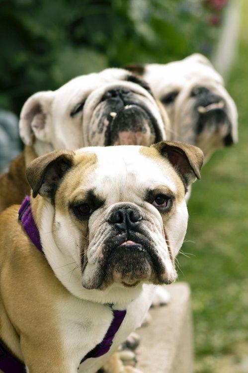 This Is My Happy Face English Bulldog Englishbulldog