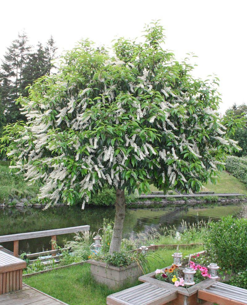 Full size picture of Portugal Laurel, Portuguese Cherry Laurel ...