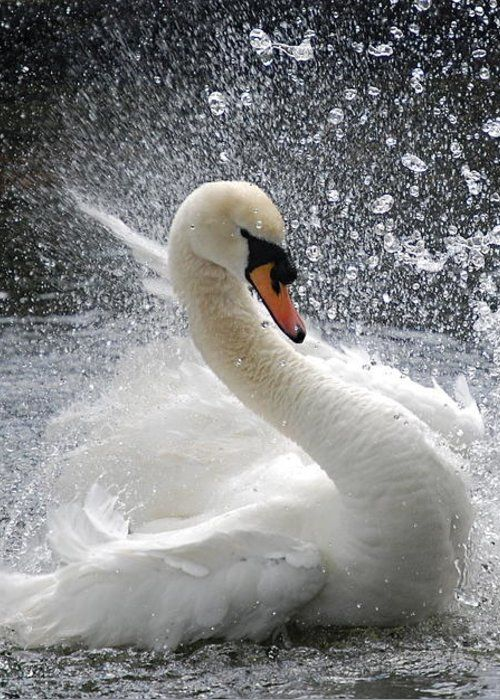Swan Greeting Card for Sale by Kathy Gibbons #balletfitness