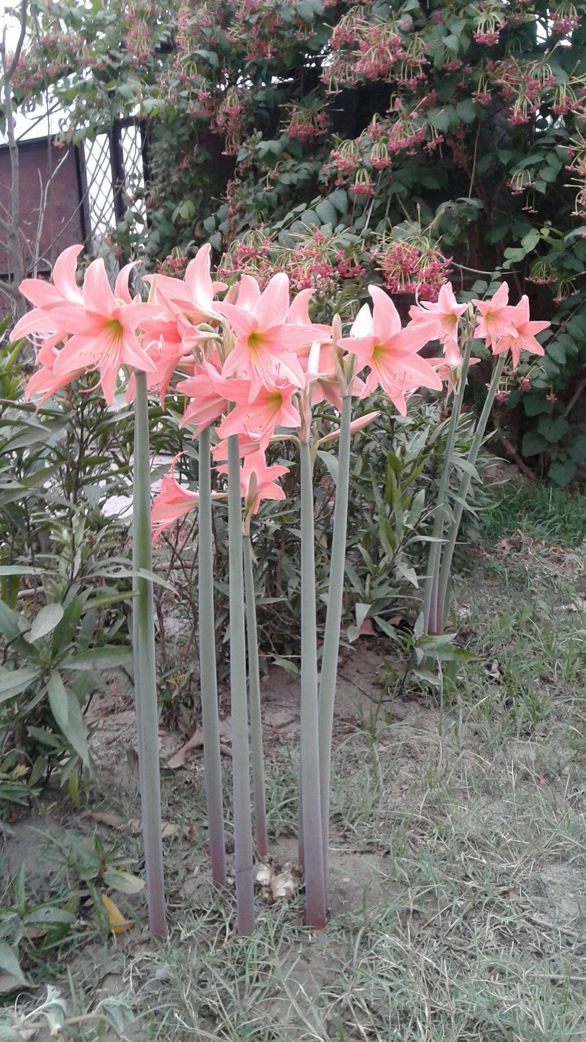 I Dont Know This Flower Name This Plant Doesnt Commenthome Amaryllis Flowers Flower Names Plants