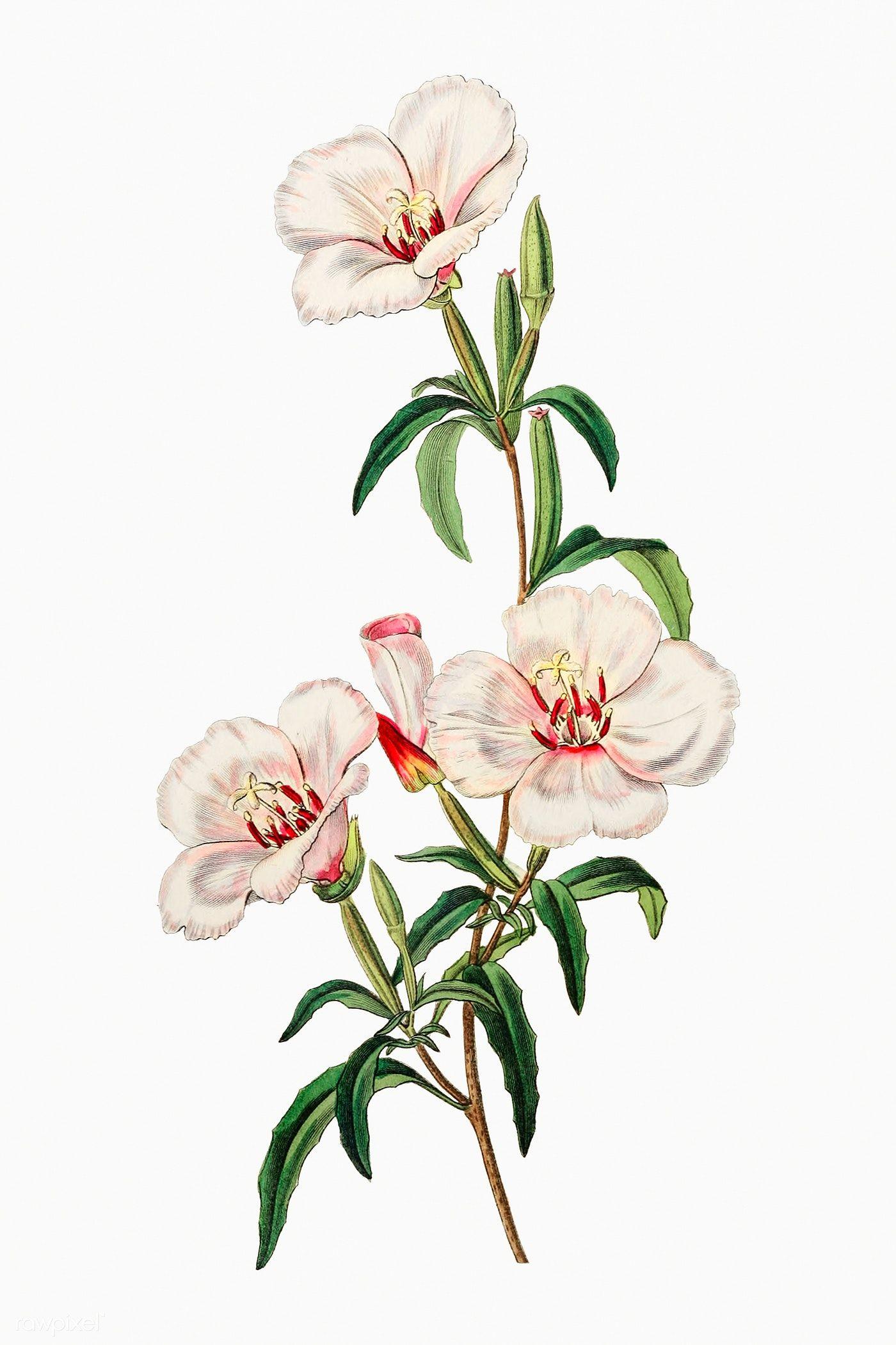 Download Premium Illustration Of Vintage Wine Stained Godetia Flower In 2020 Flower Illustration Digital Flowers Free Illustrations
