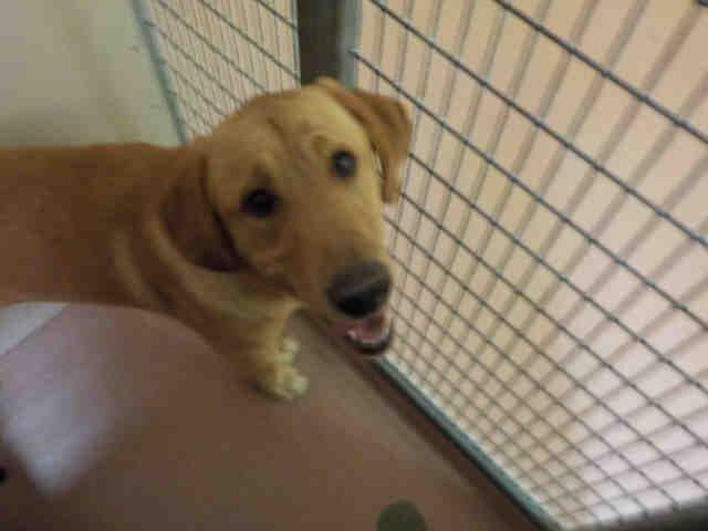 Golden Labrador dog for Adoption in Ogden, UT. ADN696881
