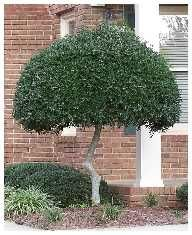 How To Pruning A Shrub Tree Form Shrubs Such As The Single Trunk Upright Yaupon Holly This Example Can Be Focal Points That Add Lots Of