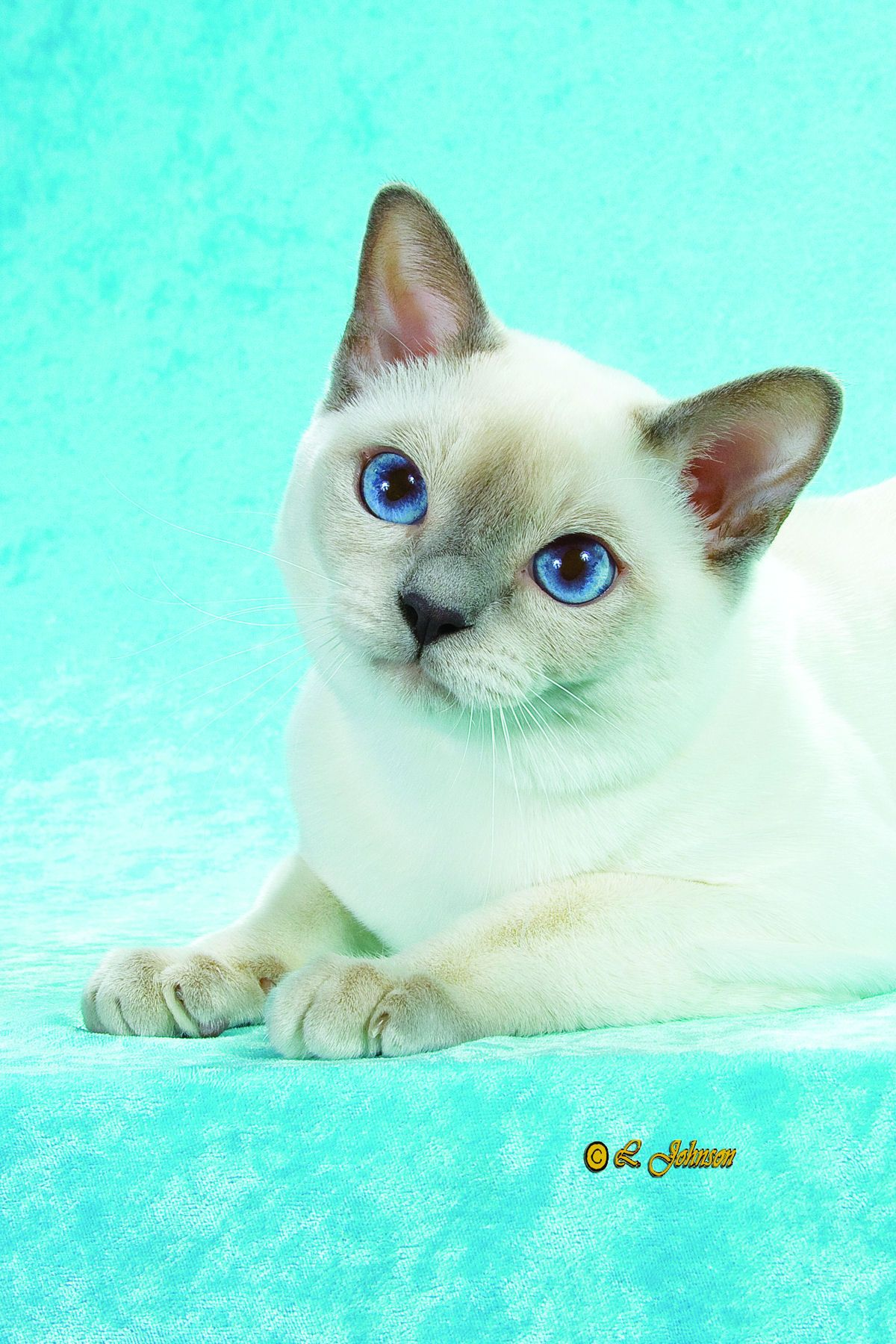 Breed Profile The Tonkinese Cats Cat Breeds Tonkinese Cat