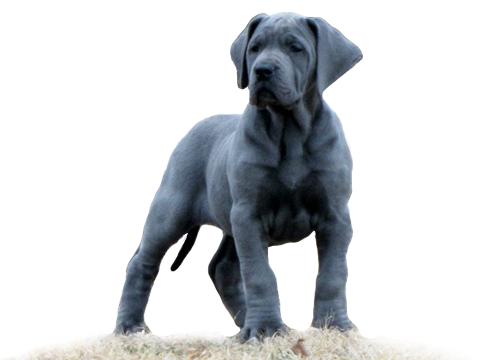 Royal Elite Top Quality Family Raised European Great Danes Dane Puppies Great Dane Great Dane Puppy