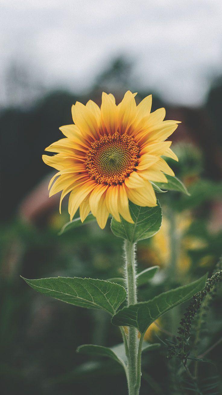 12 Super Pretty Sunflower iPhone Wallpapers พื้นหลัง การ