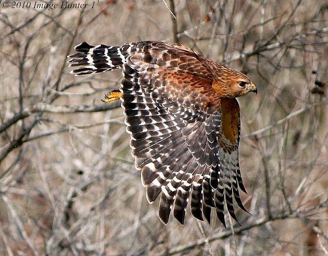 Red Shouldered Hawk Lake Martin Louisiana Birds Of Prey Backyard Birds Pet Birds