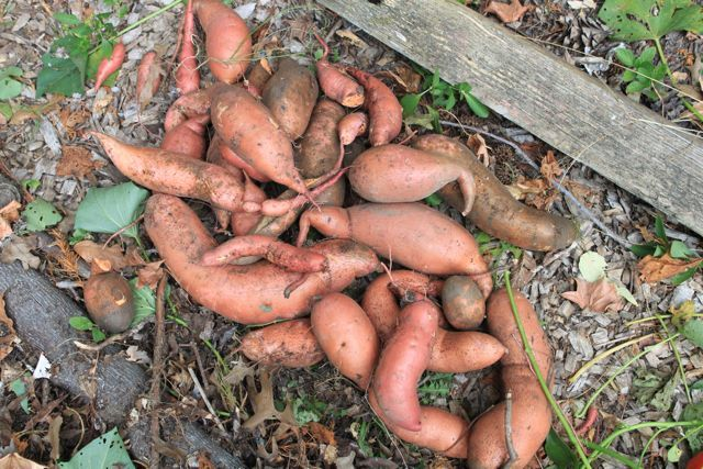 Sweet Potatoes  www.permacultureproject.com
