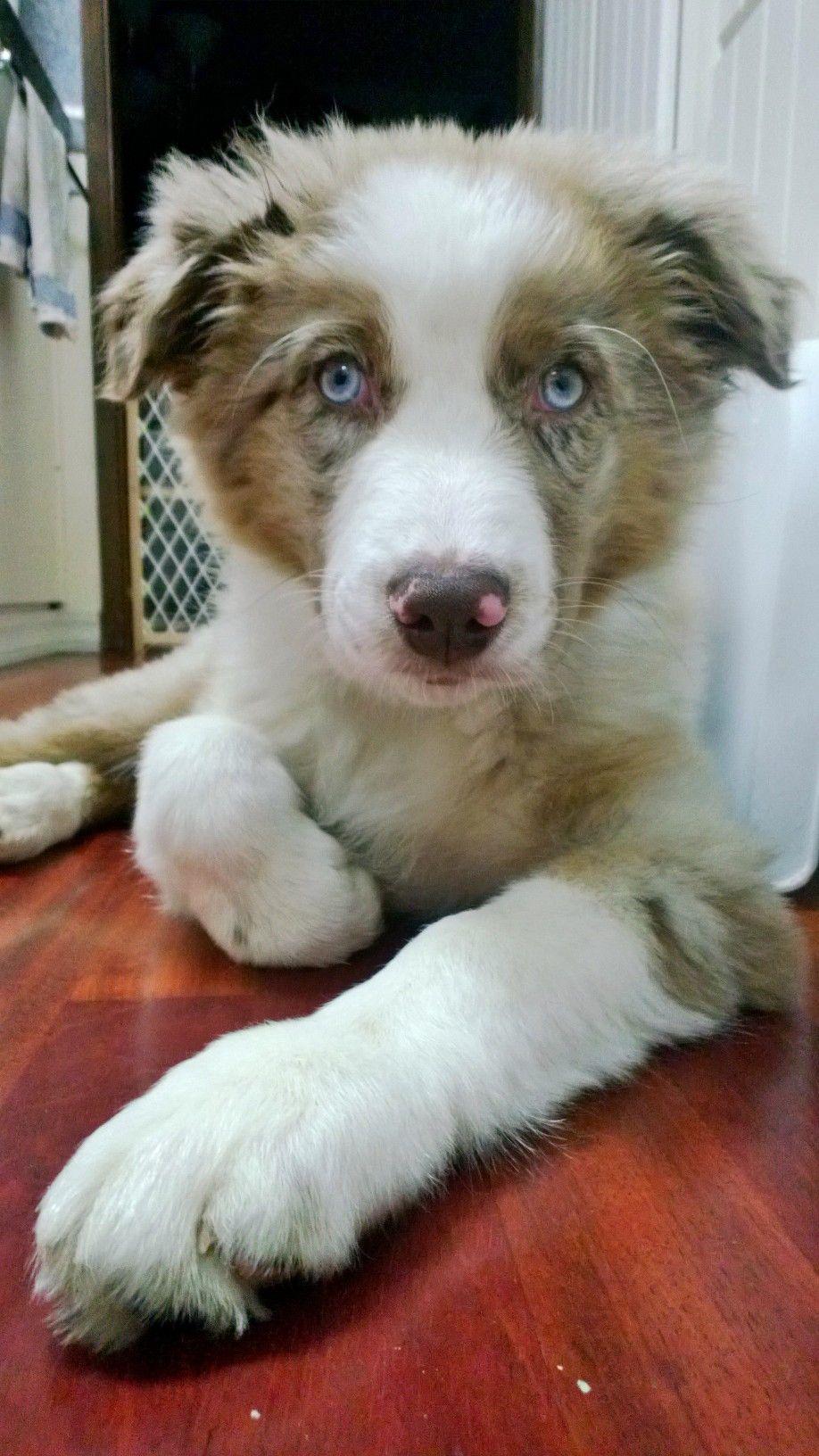 3 month old Pete - red merle aussie australian shepherd puppy